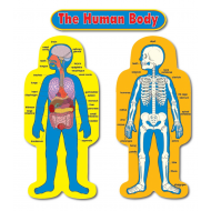 CD-3215 Child size human body bulletin board display