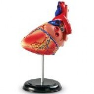 LER3334 Anatomy Model Heart